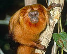 The golden lion tamarin (<I>Leontopithecus rosalia</I>) is just one of the unique inhabitants of the Atlantic Forest.<BR>