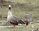 The Lesser White-fronted Goose (&lt;i&gt;Anser erythropus&lt;/i&gt;).
