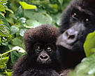 A mountain gorilla and her young. Virunga National Park is home to more than half the world's 700 remaining mountain gorillas — one of the world's most critically endangered species.