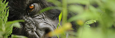 Mountain gorilla (Gorilla beringei beringei), Volcanoes NP, Virunga mountains, Rwanda. rel=