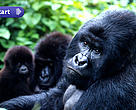 Mountain gorillas, Virunga National Park, Democratic Republic of Congo.