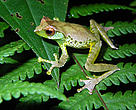 While most male frogs attract females with repetitive croaks, Quangs tree frog spins a new tune each time. No two calls are the same, and each individual mixes clicks, whistles and chirps in a unique order. It was discovered in the high-altitude forests of northern Vietnam (Pu Hoat Proposed Nature Reserve).