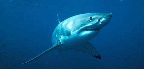 Great white shark (&lt;i&gt;Carcharodon carcharias&lt;/i&gt;. rel=