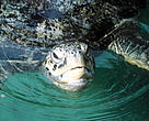 Green turtles have long played a significant, symbolic role in traditional Indonesian Hindu rituals and ceremonies.