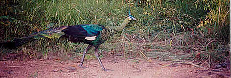Green peafowl caught by a camera trap rel=