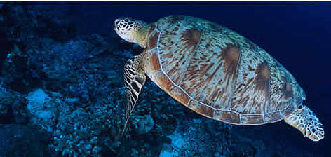 Green turtle (Chelonia mydas), Pacific Ocean. rel=
