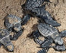 Green Turtle hatchlings heading for an uncertain future in the ocean.