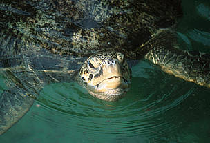 Green sea turtle. Zanzibar Island. Tanzania / &copy;: Martin HARVEY / WWF-Canon