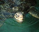 Green sea turtle. Zanzibar Island. Tanzania