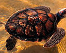 Without TEDs, thousands of marine turtles would continue to die each year in shrimp nets in Mozambique.