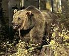 Grizzly bear (<I>Ursus arctos horribilis</I>), a key species in the Mackenzie Valley.<BR>