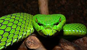 The Gumprechts Green Pitviper is but one of 1068 new species discovered in the Greater Mekong in the last decade (1997-2007)