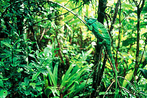 ... and under their protective canopies, forests provide shelter to innumerable species. Chameleon ... / ©: WWF-Canon / Edward PARKER