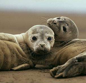 Young common (or harbour) seals (&lt;i&gt;Phoca vitulina&lt;/i&gt; on sand beach. Wadden Sea, ... / &copy;: WWF / Jan VAN DE KAM
