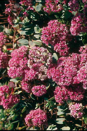 Sedum evers, an endemic medicinal plant of the Altai / ©: Hartmut Jungius/ WWF Netherlands