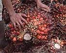 Oil palm is an important crop, but plantations have sometimes imposed environmental and social costs due to forest clearing, burning, and disregard for the rights of local communities.