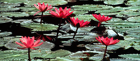 Water lilies (&lt;i&gt;Nymphaea&lt;/i&gt;), Hawaii, United States of America. rel=