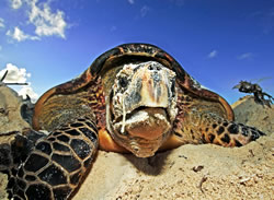 Hawksbill turtle (&lt;i&gt;Eretmochelys imbricata&lt;/i&gt;). The metabolism, life cycle, and ... / &copy;: WWF-Canon /  Martin HARVEY