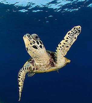 Hawksbill turtle (Eretmochelys imbricata), New Britain, Papua New Guinea.