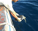 Hawksbill turtle being released in the sea