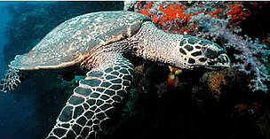 Hawksbill turtles live on coral reefs where their favourite food, sponges, are most plentiful. Fiji. / ©: WWF-Canon / Cat HOLLOWAY