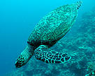 The magnitude of beach habitat loss predicted in the study could be the point of no return for critically endangered sea turtles like this hawksbill turtl
