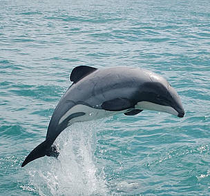 A Maui's dolphin leaps from the water along the western coastline of New Zealand's North Island.