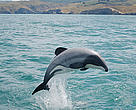 Hector's dolphin, South Island, New Zealand