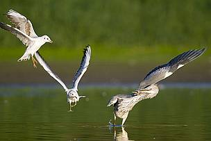 Black-headed gulls attacking grey heron, Middle Elbe biosphere reserve, Germany