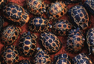 Such Radiated Tortoises were found for sale in Chatuchak Market, Bangkok, although their commercial international trade is prohibited.