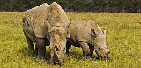 White Rhinoceros (Ceratotherium simum), adult female with calf and storm clouds in the background. ... rel=