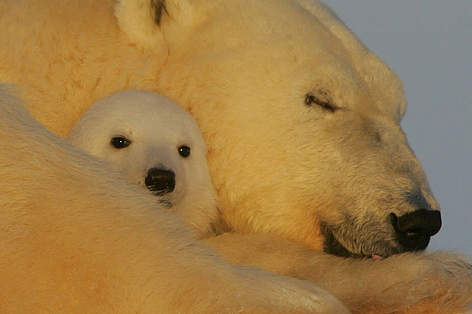 A female Polar bear resting with her young cub in the snow near Churchill, Manitoba, Canada. rel=