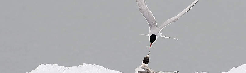 Adult Arctic tern (Sterna paradisea), feeding the young, Iceland. / &copy;: Wild Wonders of Europe /Orsolya Haarberg / WWF