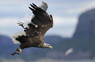 European Sea Eagle (Haliaetus albicilla), carrying a fish in its talons and being harried by a seagull, Flatanger, Trondheim, Norway.
