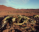 The Namib Desert's <i>Welwitschia mirabilis</i> plant can live for over 1,000 years.