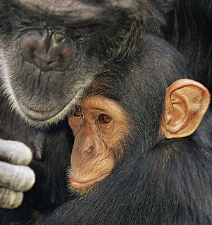 Chimpanzee (Pan troglodytes) mother with youngster, captive, Chimfunshi Orphanage, Zambia / &copy;: naturepl.com/Andy Rouse / WWF
