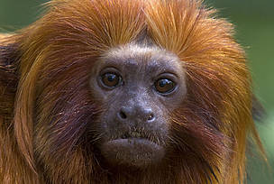 Golden lion tamarin (Leontopithecus rosalia) portrait of adult. Critically endangered; from South ... / ©: naturepl.com / Edwin Giesbers / WWF