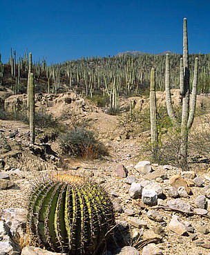 Barrel cactus near Zapotitlán Salinas,Tehuacán Valley, Puebla, Mexico. / ©: Anthony B. Rath / WWF-Canon