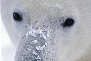 Polar bear (Ursus maritimus); Canada / &copy;: Fritz Polking / WWF