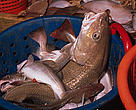 Deep sea fishing:  Cod in bucket on deep sea trawler  North Atlantic Ocean