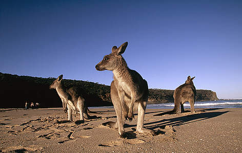 Macropus giganteus Eastern grey kangaroo On the beach Eastern Australia rel=