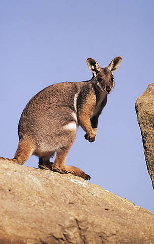 Petrogale xanthopus Yellow-footed rock wallaby Inhabits rocky outcrops Australia / ©: Martin HARVEY / WWF-Canon
