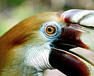 Blyth's hornbill is one of many bird species found within the TransFly.