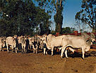 Feed is brought in for the cattle as there is nothing on the ground. This photo was taken in 1994.  / ©: Hugh Innes