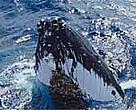 Humpback whales (<I>Megaptera novaeangliae</I>) migrate from Antarctica to the South Pacific every winter to mate and give birth.