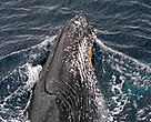 Humpback whale.