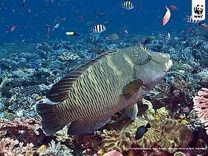 Napoleon wrasse or Humphead wrasse (Cheilinus undulatus), Batu Balong, Komodo National Park, ... / &copy;: Robert Delfs / WWF-Canon