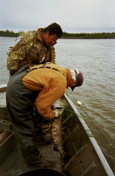 Subsistence salmon fishing with Ross Sam & George Attla in summer near Huslia, Alaska. / ©: Kathy Turco