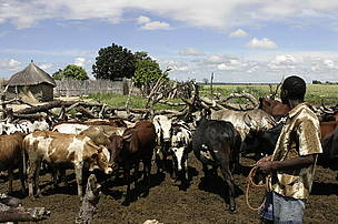 Local farmer with his cattle herded together in a corral for the night, which is a pre-condition ... / ©: WWF-Canon / Folke WULF
