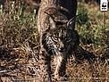 Iberian lynx (Lynx pardinus)  / &copy;: Sanchez & Lope / WWF-Canon